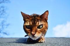 the hunter (lisheeny) Tags: bengal cat pet feline kitty