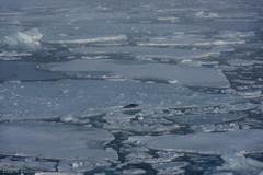Harp seal and ice (Elvar H) Tags: arcticocean harpseal helmerhansen phocagroenlandica siarctic grnlandssel sealsampling vuselur
