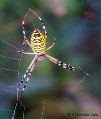 Araa tigre (F.Guirado) Tags: 2016 arachanida araatigre argiopebruennichi lleida rufea septiembre sony nex6 sigma105macro macrofotografia