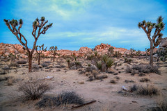 IMG_1503 Joshua Tree (Alex Hsieh ()) Tags:  joshuatree joshuatreenationalpark nationalpark california ca roadtrip 2016 usa travel desert canon6d canon 6d