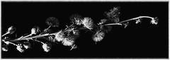 Liatris ligulistylus (TallGrass-IA) Tags: flower iowa prairie panasonic g6 lumix blackwhite wildflower