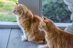 Dog Alert (Gabriel FW Koch (fb.me/FWKochPhotography on FB)) Tags: cats feline mainecooncat orange longhair ginger orangecats friends indoor outside sun sunlight autumn canon eos dof telephoto sigma