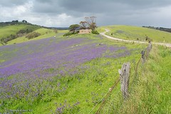Rolling Hills, Fields of Salvation Jane, Fleurieu Peninsula, South Australia (Sharon Wills) Tags: south australia australian landcape salvationjane purpleflowers fieldsofflowers farmland farm land country myponga southaustralian rollinghills hills fields landscape ruins old homestead cows agriculture animals serene peaceful