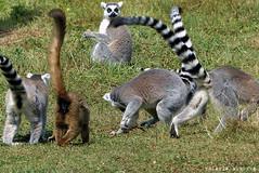 P1060268 (LaBonVampire) Tags: lemur animals nature leica leicalenses lumix