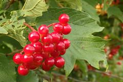 Lodjapuu marjad (Jaan Keinaste) Tags: olympussh1 eesti estonia loodus nature lodjapuu mari punane red viburnumopulus berry