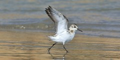 """Practising for """"Strictly"""".......................  Contestant #1 (nick.linda) Tags: dancingwiththebirds sanderling calidrisalba dance strictlycomedancing dancingwiththestars wildandfree sea sand waders canon7dmkii canon100400"""
