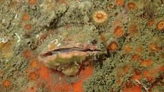 Lamp shell brachiopod, Terebratalia transversa (aharmer1) Tags: brachiopoda brachiopod lampshell lamp shell terebratalia transversa terebrataliatransversa pecho