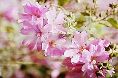 On the lighter side of things .... (Brenda Boisvert .) Tags: mallow texture kerstinfrank pse14 mygarden pinkflower blossomflowers nature brendaboisvert