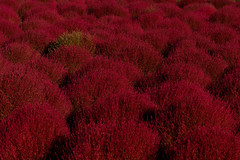 Glowing colors (t.kunikuni) Tags: jp       japan ibarakiken ibaraki hitachinaka hitachinakashi hitachiseasidepark   summercypress  red