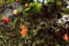 Harilik komuseen, punakomuseen, punane komuseen (Nectria cinnabarina). (Imbi Vahuri) Tags: imbivahuri fungi seened ascomycota kottseened nectriaceae komuseenelised nectria komuseen