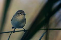 pouillot vloce ( Phylloscopus collybita ) Erdeven 161010i2 (pap alain) Tags: oiseaux passereaux sylviids pouillotvloce phylloscopuscollybita commonchiffchaff erdeven morbihan bretagne france
