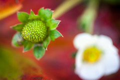 How Does Your Garden Grow? (Evelyn Ford) Tags: strawberry flower blossom green red fall autumn garden vancouverbc ef100mmf28lmacroisusm canoneos5dmarkii