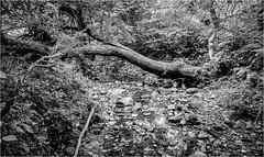 Deepdale . (wayman2011) Tags: fujifilmx70 lightroom wayman2011 bwlandscapes mono woodland trees streams becks pennines dales teesdale deepdale barnardcastle countydurham uk