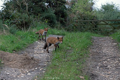 Red Fox-Vulpes vulpes. (PANDOOZY PHOTOS) Tags: redfox vulpesvulpes adult dog vixen mammals mammal animal animals wildlife nature uk gb unitedkingdom fence wild greatbritain alert european canidae foxes pair two