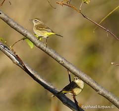 Palm Warblers (RKop) Tags: a77mk2 70400gssmsony armlederpark cincinnati ohio raphaelkopanphotography sony warblers warbler