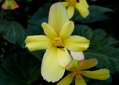 Wrocław - Ogród Botaniczny (tomek034 (Thank you for the 1 300 000 visits)) Tags: polska poland wrocław ogródbotaniczny ogród kwiaty kwiat żółty
