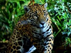 Jaguar (gary.t.17) Tags: 250faves 200faves 150faves 100faves 50faves 25faves big cat 18g 85mm nikon jaguar