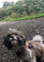 Coco's first time in the park (Lisangel) Tags: dog puppy shihtzu park lead hillsborough