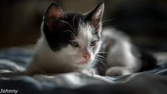 Prince (Johnny Stulic) Tags: greatphotographers cats outdoor animals flickrdiamonds flickraward