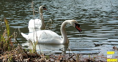 Labut v eskm rji (FeetNoBorders) Tags: czech cz r republic republika esk esko czechoslovakia czechoslovakian echy esk scenery photography new beautiful beauty peace peacefull euro europe european typical fauna labu swan water lake river romance nature romantic fnb feetnoborders nohybezhranic tourism tourist animal pet zve divok proda vodn tramping tremping