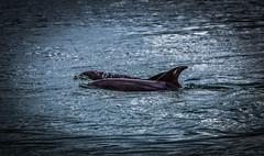 Burrunan Dolphins (dmunro100) Tags: burrunan dolphin rare victoria gippsland lakesentrance australia