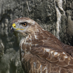 A Serious Expression (AnyMotion) Tags: commonbuzzard musebussard buteobuteo portrait portrt bird vogel raptor greifvogel animal animals tiere rock felsen nature wildlife 2016 anymotion natur botanischergarten botanicalgarden frankfurt 7d canoneos7dmarkii colours colors farben gelb autumn fall herbst automne otoo square 1600x1600