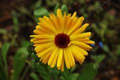 Flower (Hugo von Schreck) Tags: hugovonschreck outdoor blume flower blte macro makro canoneos5dsr tamron28300mmf3563divcpzda010 givemefive