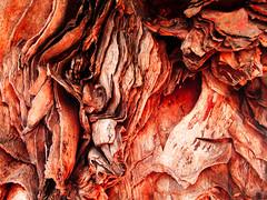 the skin surf (ix 2015) Tags: macro tree mxico mexico flora warm bark rbol duotone cuernavaca morelos corteza duotono clido teramelos israfel67