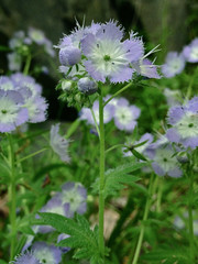 More Miami Mist (FritzFlohrReynolds) Tags: blue wild usa white plant flower native may maryland phacelia boraginaceae forb montgomerycounty 2013 miamimist phaceliapurshii billygoattrailsectionb marsdentract chesapeakeohiocanalnationalhistoricpark