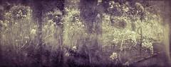 . (Catherine...) Tags: iris 6x6 film analog mediumformat holga spring toycamera analogue printemps plasticcamera argentique lowfi glycines listeria photographofanegativetapedtoawindow