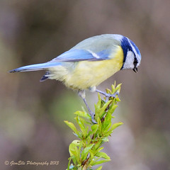 At the top of his game (GemElle Photography) Tags: blue bird yellow nikon tit feathers bluetit gemelle d600 gemelle1