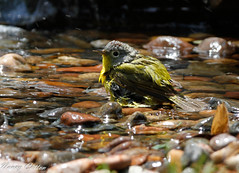 Nashville Warbler (Nancy Cotton) Tags: bird bath birdbath warbler wetbird nashvillewarbler
