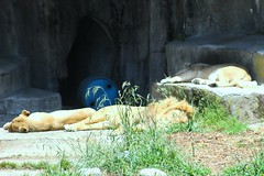 San Francisco Zoo, Lions Sleeping