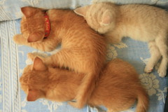 (marina go) Tags: cute kitty kittens cutecat gingercat cutekittens gingerkitten gingerkitty gingerkittens