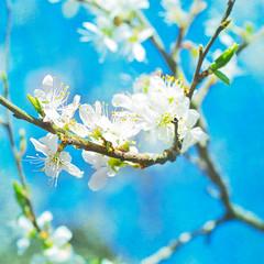 Canvas damson blossom (photoart33) Tags: flower tree floral garden square spring bright blossom textured layered damson damsonblossom persephonesgarden