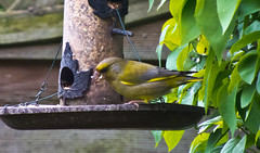 2013 05 19 Greenfinch-02 (Keith Laverack) Tags: greenfinch 1facebook 1flickr 1keithlaverack 1wilberfoss