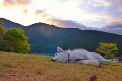 sunset in the mountains (GinnHuskyDog) Tags: sunset dog mountain mountains husky huskies siberianhusky napping siberian