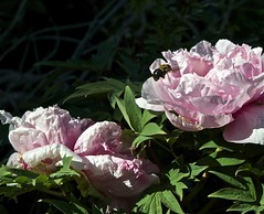 Bee Landing (patsmith26) Tags: flower closeup insects bee treepeony bumblebeepeony