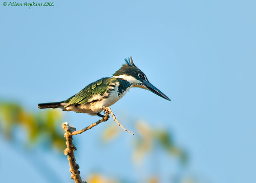 Amazon Kingfisher (Chloroceryle amazona) female