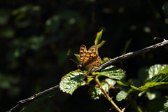 butterfly (Lucis amore) Tags: green nature butterfly photography borboleta fotografia leafs