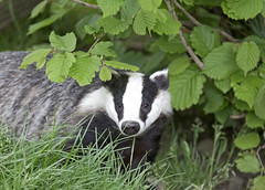 Badger (chubbster) Tags: wildlife centre may surrey richard british bwc newchapel huckle 2013 chubbster