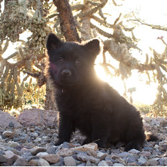 Sun Bear Full (Immature Animals) Tags: arizona cactus rescue dog baby black animal female puppy desert tucson ears az marshall whiskers belly foster derek bark chow pup paws frontyard adopt chowchow neuter spay koalition derekmarshall