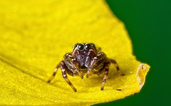 Tiny Jumping Spider Too (BeetleBrained) Tags: macro nature yellow photoshop insect lens spider nikon spiders arachnid small maryland baltimore reversed nikkor topaz macrophotography extensiontubes cs5 junping jumpngspider d5100 uploaded:by=flickrmobile flickriosapp:filter=nofilter pattersonparkboatlake