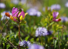 Colorful flowers (WeatherMaker) Tags: italien italy mountains alps hiking alpen nara trentino cima bal lagodigarda gardasee pregasina