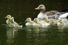 I can fly (cre8ive-M(away this weekend)) Tags: geese ngc goose goslings npc anseranser grauwegans gansjes