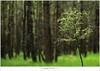 Een lariks in het bos (5D053273) (nandOOnline) Tags: licht bomen nederland natuur boom bos landschap zonlicht rips lariks compositie nbrabant stippelberg