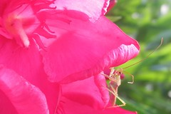 Pretty Painful (inthepotter'shands) Tags: pink flower insect deception oleander assassinbug poisonous macromondays macromonday