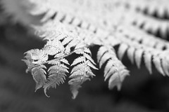 the fern's face (Benjamin Burkhart) Tags: newzealand blackandwhite bw fern nature blackwhite aotearoa rimutakas rimutakaranges orongorongo leaveslines orongorongovalley