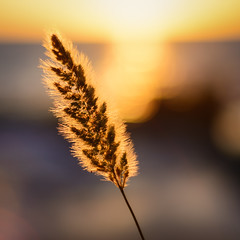 Fluffy Plant over the Shining Sea (blakesimpson_photo) Tags: ocean sunset sky plants sun sunlight plant flower reflection beach square 50mm gold glow unidentifiedplant bokeh f18 18 squarecrop lightroom 50mm18d colorefexpro