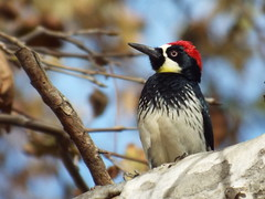 Acorn Woodpecker (gurdonark) Tags: california park bird birds los woodpecker angeles wildlife acorn griffith